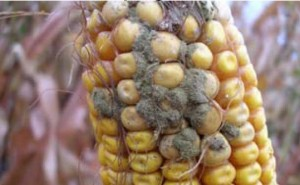 Cover photo for Mycotoxin in Corn