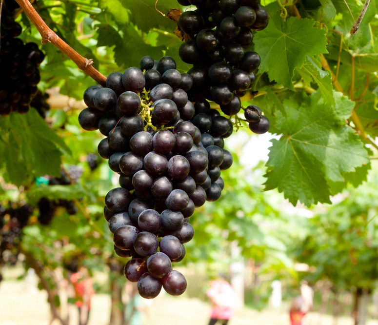 Concord Black Seedless Bunch of Grapes on vine