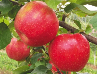 honey crisp apples on a tree