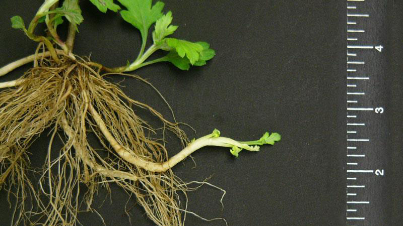 Mugwort root