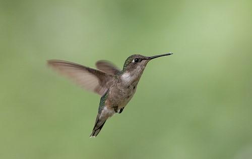 image of female hummingbird