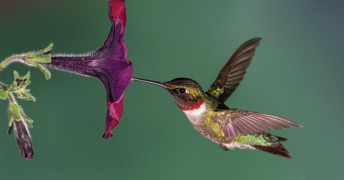 image of a male hummingbird