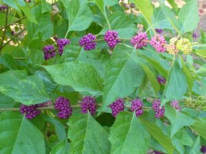 image of beautyberry