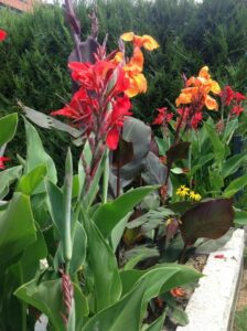 image of canna lily