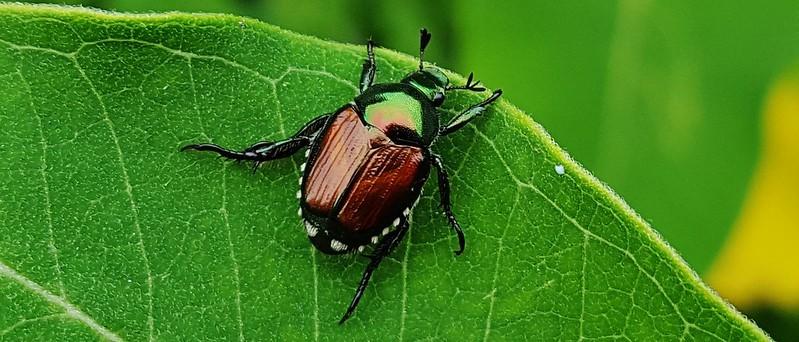 image of Japanese beetle on a leaf