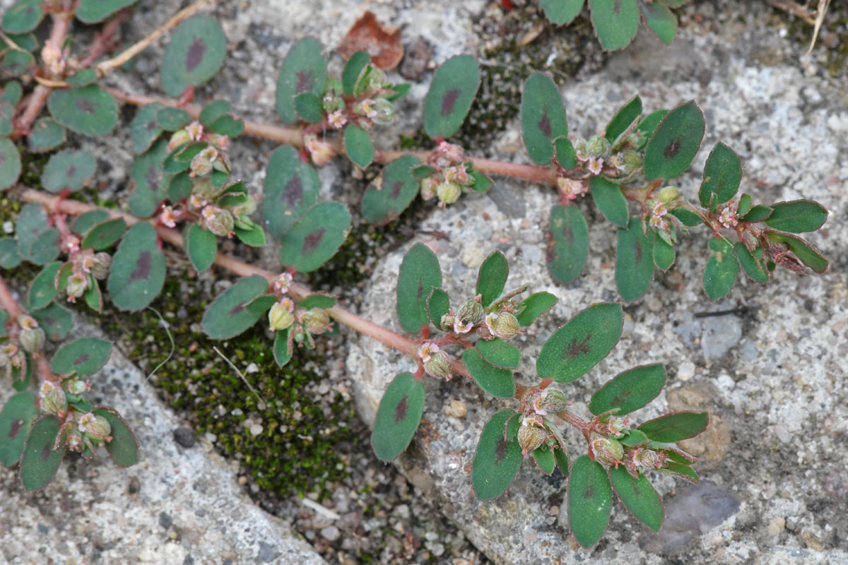 images of spotted spurge