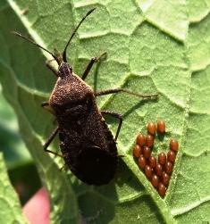 image of squash bug