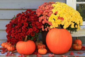 image of fall display of mums and pumkins