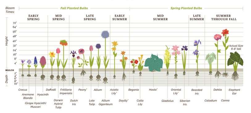 bulb chart for fall and spring bulbs